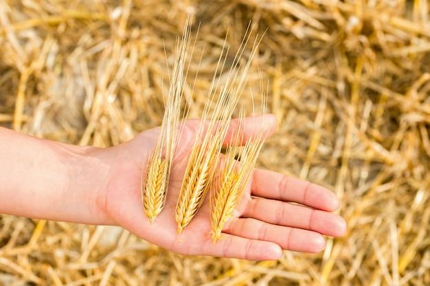 手で小麦の穂
