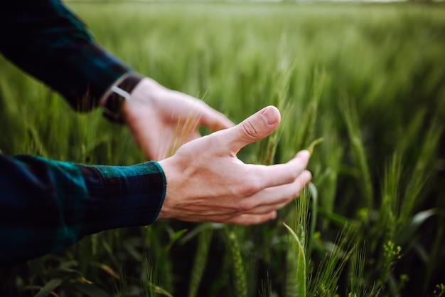 手に小麦の小穂。男は小麦を持っています。緑の麦畑。春の風景。初夏に熟成する小麦の穂に触れる農家の手。