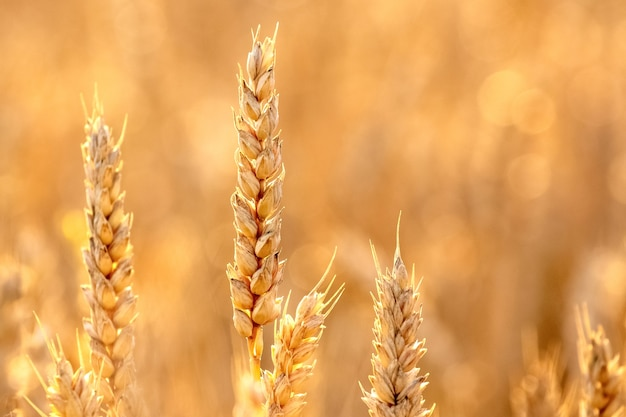 フィールドの小麦の穂が金色の色調でクローズ アップ
