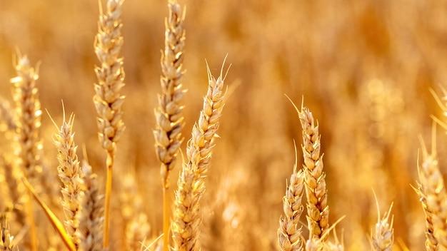 背景をぼかした写真のフィールドで小麦の穂 Premium写真