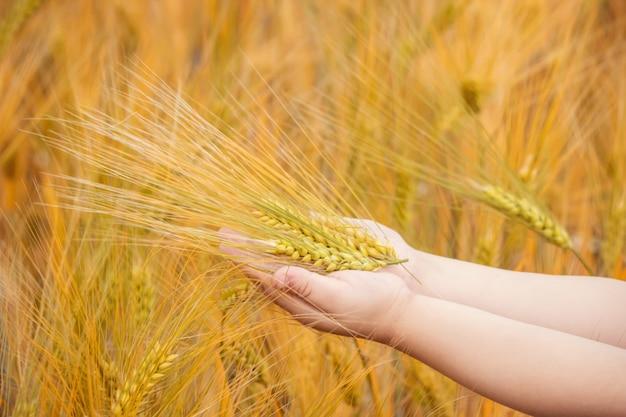 Колоски пшеницы в руках детей. выборочный фокус.