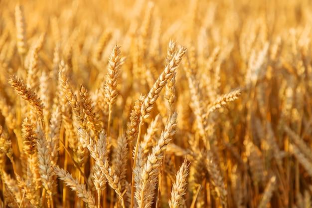 Колоски пшеницы на пшеничном поле. выборочный фокус. природа.