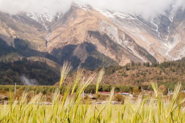 ネパール、ヒマラヤの山々とぼやけた自然の背景に小麦の小穂
