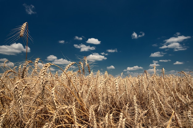 Spikelets of ripe bread on a field on a bright sunny day against a background of blue sky and white ...