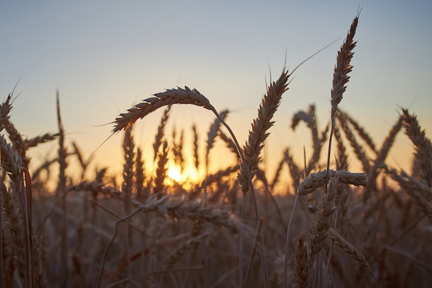 Spikelets of ripe rye on a background of dark blue sky and the sun at sunset
