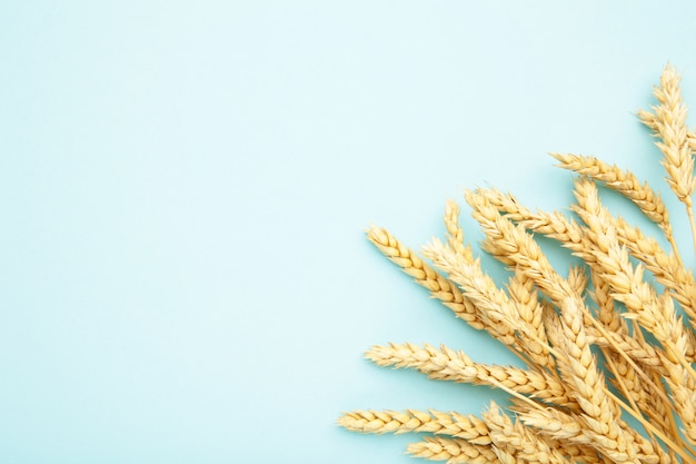 Spikelets of wheat on blue background.top view