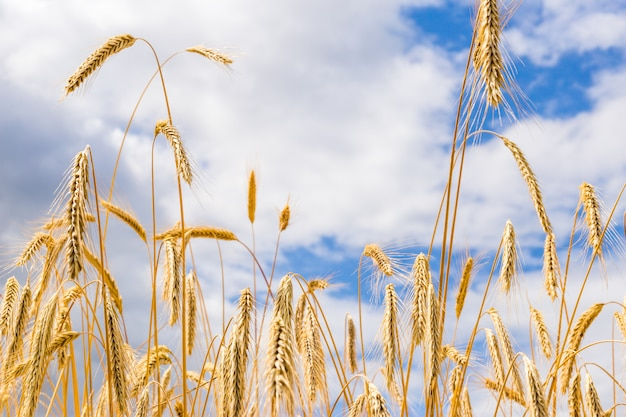 Spikelets of wheat on a field on a farm against the backdrop of a blue sky