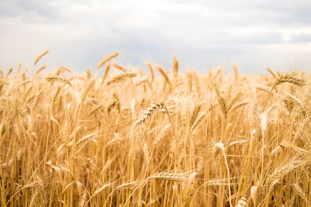 Spikelets of yellow wheat against the sky