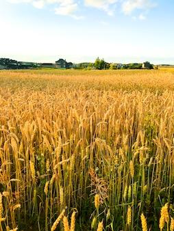 Spikes of rye on field in evening, sun.
