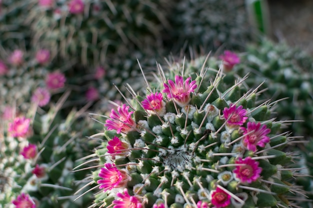 Spiky and fluffy cactus, cactaceae or cacti blooming with pink lilac flowers. thorn cactuses texture close up