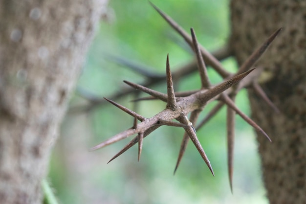 Spiky thorn of thorny tree