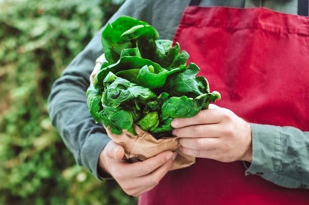 남성 손에 시금치. 앞치마를 입은 남자는 공예 가방에 신선한 생 녹색 시금치를 잔뜩 들고 있습니다. 신선한 농산물, 채소 배달. 시금치 수확.