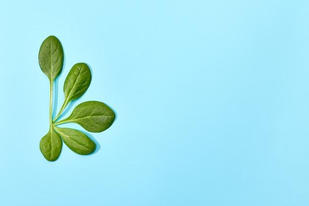 부드러운 파란색 배경에 고립 시금치 잎입니다. 신선한 녹색 시금치의 반원 잎, 평면도. 복사 공간