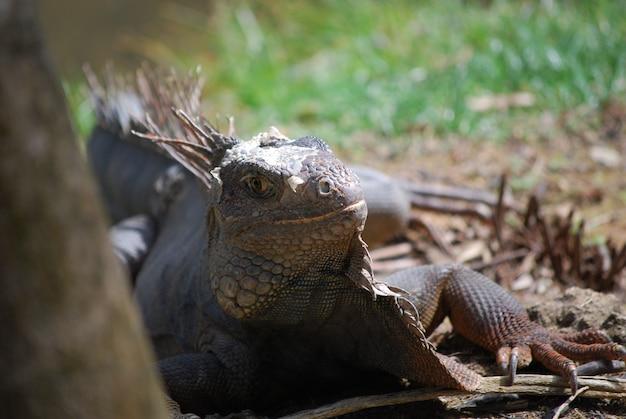 따뜻한 열대 지방에 있는 이구아나의 등을 따라 가시가 있습니다.