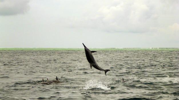ハシナガイルカがモルディブでジャンプしています。