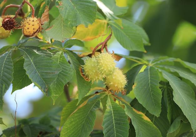 枝にとげのある栗の果実