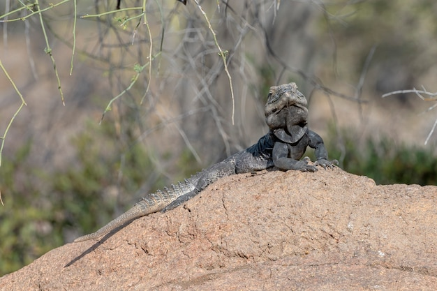 애리조나 소노 란 사막의 바위 위에있는 가시 꼬리 이구아나