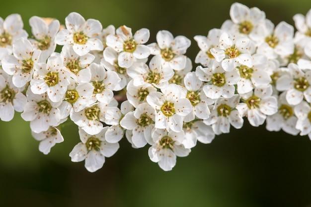 Spiraea cinerea - grefsheim - цветы спиреи на зеленой природе