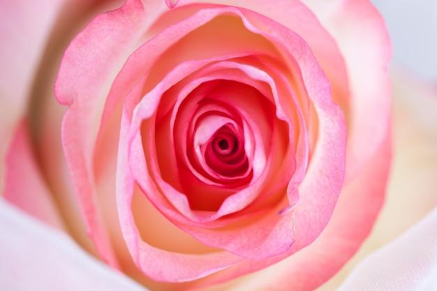 Spirals of a rose close