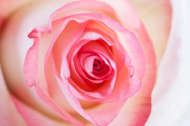 Spirali di una rosa vicino