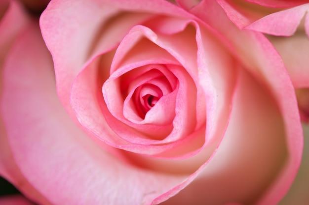 Spirali di una rosa