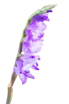 Spire  of  fresh gladiolus flowers close up isolated on white background