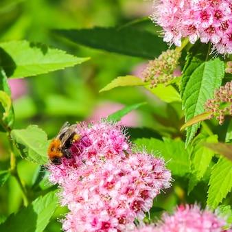 庭に蜂とシモツケピンクの花が咲くシモツケの枝