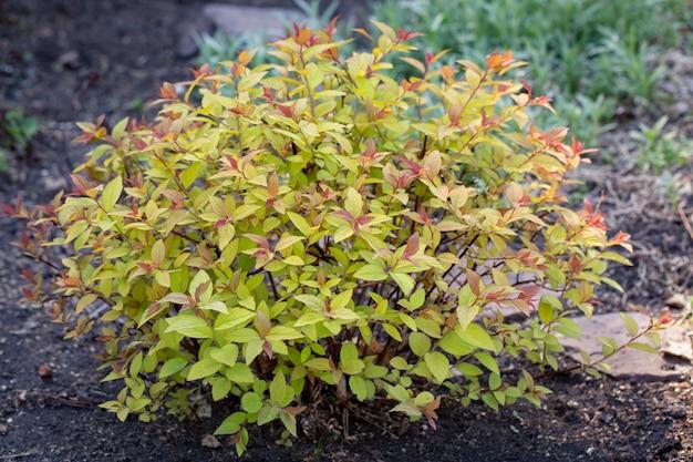 보라색과 노란색 잎이있는 spirea gold flame 원예 조경