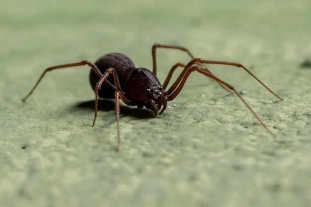 Spitting spider of the genus scytodes