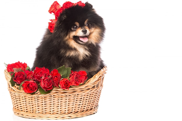 Spitz dog in the basket with flowers