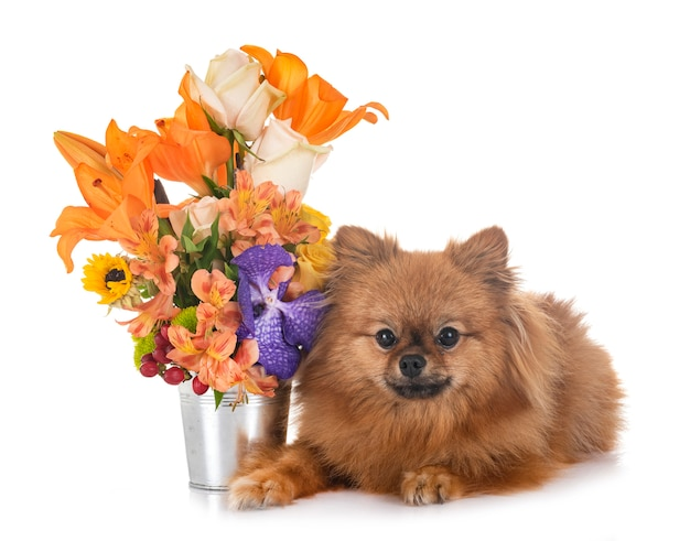 Spitz and flowers