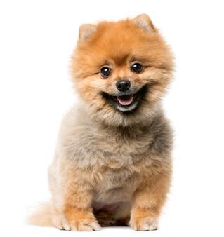 白い壁の前に座っているスピッツ子犬