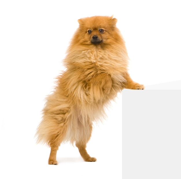 Spitz  with 3 years. dog portrait isolated
