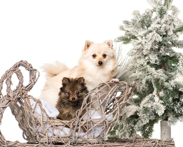 クリスマスの風景の前のスピッツ