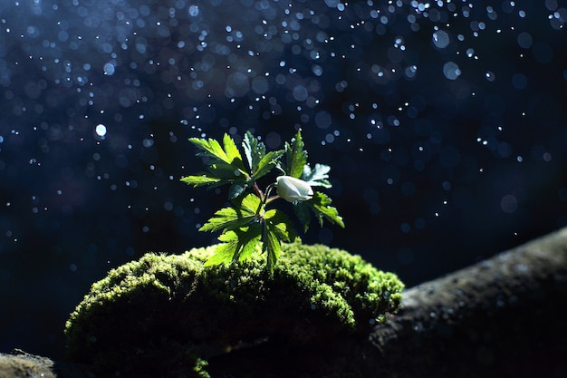 Splashes fall on a beautiful white delicate flower that grew among green moss.