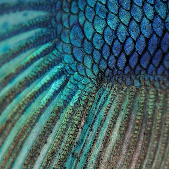 Крупный план на коже рыбы - синие сиамские боевые рыбы - бетта splendens текстура фон