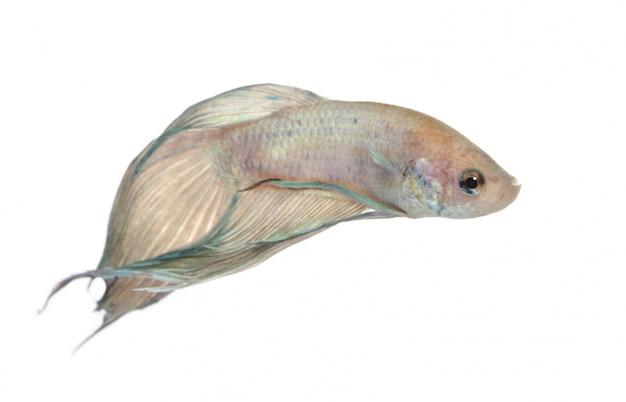 Сиамские боевые рыбы - бетта splendens на белом изолированные