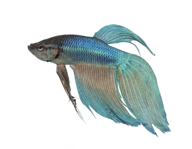 Синие сиамские боевые рыбы - бетта splendens на белом изолированные
