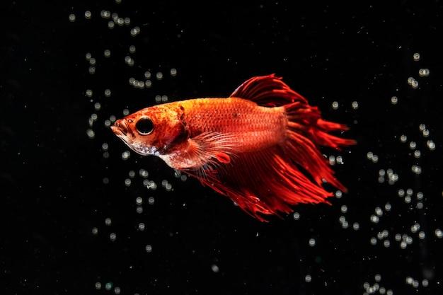 泡とダンボベタsplendensの戦いの魚