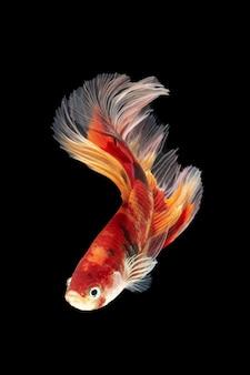Движение рыбы бетта, сиамские боевые рыбы, бетта splendens, изолированных на черном