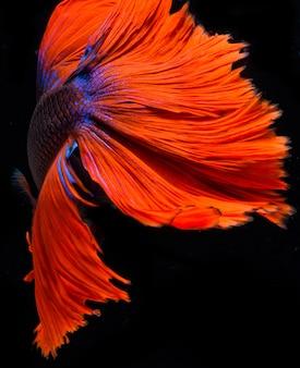 Полумесячная рыбка бетта, сиамская боевая рыба, захват рыбы, бетта splendens