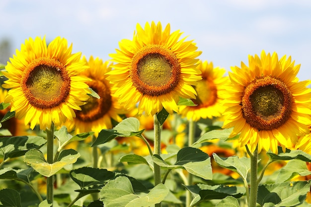 Splendid sunflowers in an agriculture field