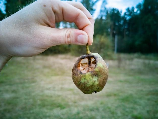 버릇없는 배 손에 곤충 기생충이 과일 수확을 먹었습니다.
