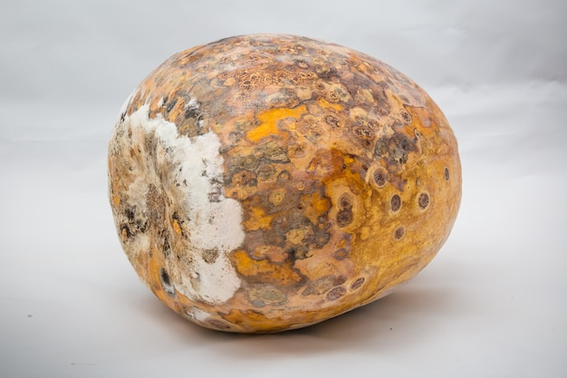 Spoiled pumpkin lies on side it dried up all covered with stains and mold dangerous food problems