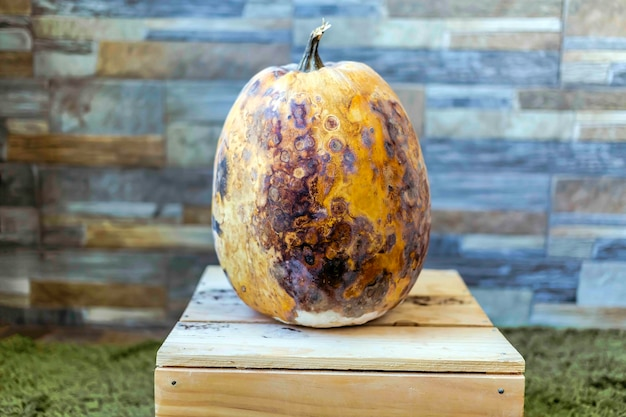 Spoiled pumpkin stunned dried and rotten vegetable is stained on wooden box against a stone wall