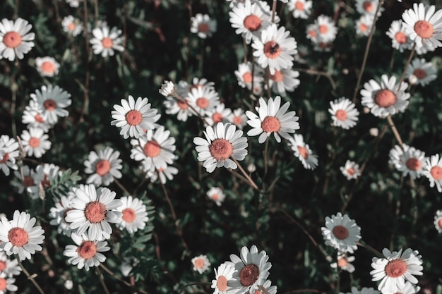Spontaneous field daisies in the countryside illuminated by the sun
