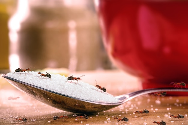 붉은 개미가 많은 설탕 숟가락, 실내 곤충, 침입 또는 해충의 위험