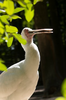 Spoonbill birds are ibis. a large white bird with a wide beak.