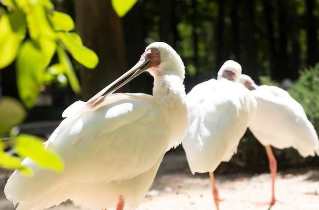 Spoonbill and ibis bird portrait