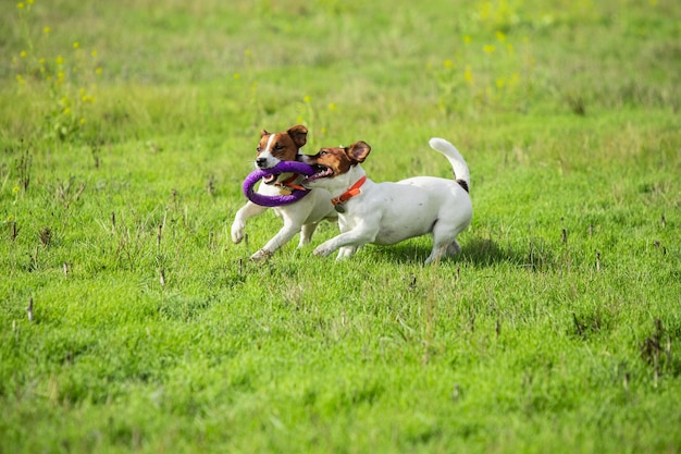 Sportive dog performing during the lure coursing in competition.